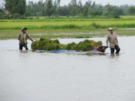 Thu hoạch lúa trong mùa nước ngập ở Hậu Giang, (Ảnh: Huỳnh Hải)