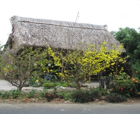 Một cây mai vàng bung nở trước nhà dân đón Tết sớm ở huyện U Minh, Cà Mau.