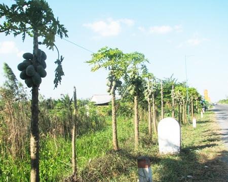 Dọc hai bên tuyến đường có rất nhiều loại trái cây người dân trồng...