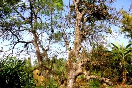 Cây lộc vừng 300 năm tuổi ở Hậu Giang. (Ảnh: Minh Giang)
