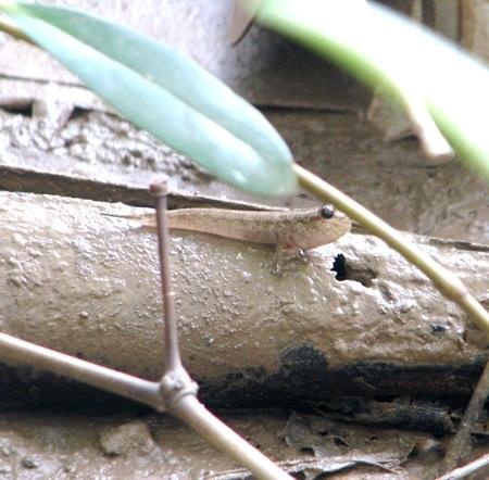 Cá thòi lòi có thể leo trên những khúc, nhánh cây...