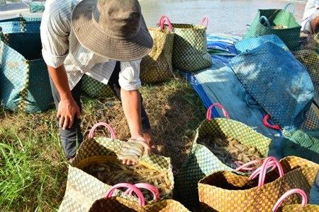 Giá tôm giảm khiến nhiều người nuôi tôm ở Cà Mau gặp khó khăn.