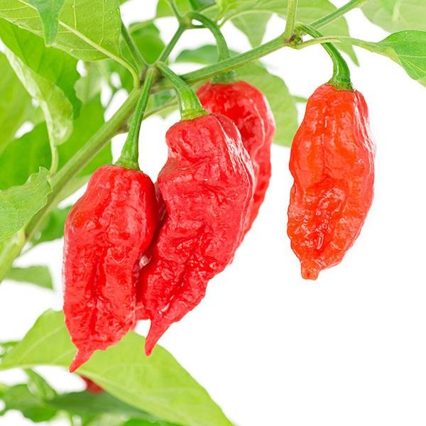 Ớt ma là một trong những loại ớt cay nhất thế giới, từng được trao kỷ lục Guinness thế giới về độ cay vào năm 2007
