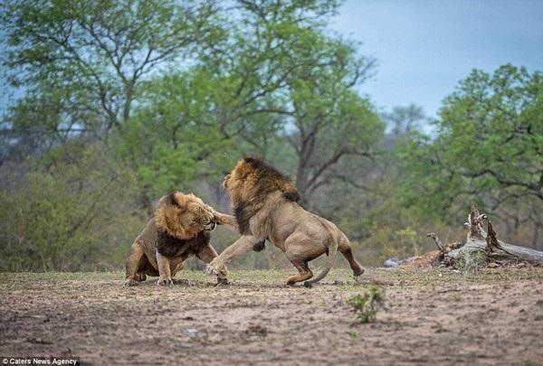 Anh em sư tử đực đại chiến kinh hoàng để tranh giành lãnh thổ - 12