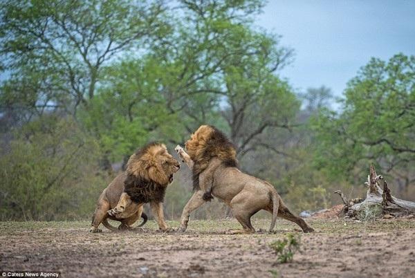 Anh em sư tử đực đại chiến kinh hoàng để tranh giành lãnh thổ - 10