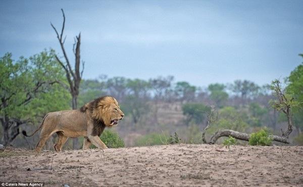 Trận đấu chỉ thực sự kết thúc khi một trong hai sư tử đực chấp nhận thất bại, bỏ đi và nhường quyền thống trị lãnh thổ cho sư tử còn lại