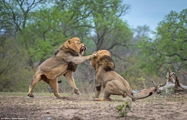 Một sư tử tát mạnh vào mặt của đối thủ