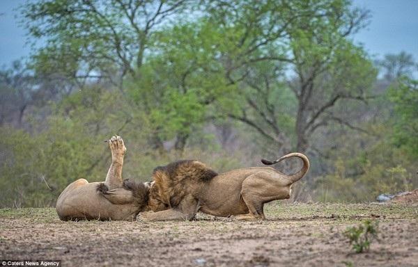 Hai sư tử ghì chặt lẫn nhau trên mặt đất