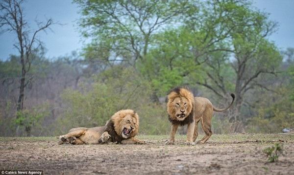 Trận đấu tưởng chừng khi kết thúc khi một sư tử bị ghì xuống mặt đất và ở tư thế như đã bỏ cuộc...