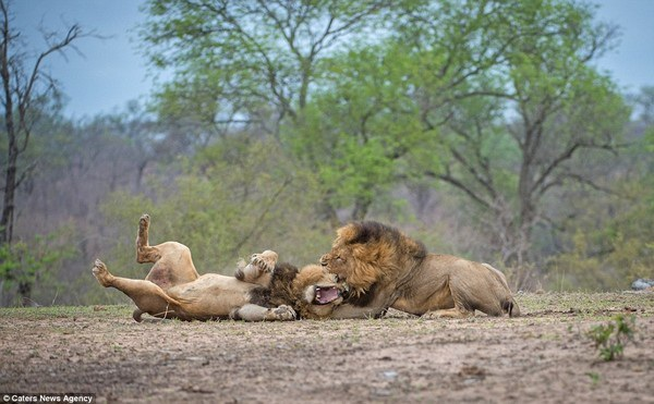Những sư tử này có khối lượng và chiều dài trung bình lớn hơn những sư tử đực tại các khu vực khác của châu Phi