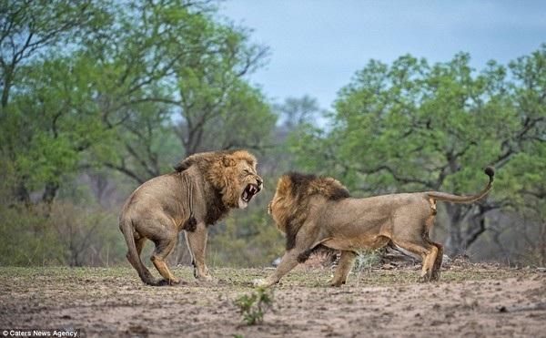 Anh em sư tử đực đại chiến kinh hoàng để tranh giành lãnh thổ - 11