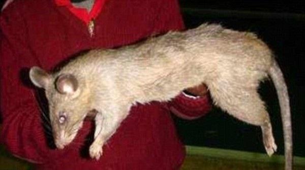 Những con chuột cỡ lớn tại Nam Phi rất hung dữ và háu ăn, sẵn sàng tấn công cả con người khi cần