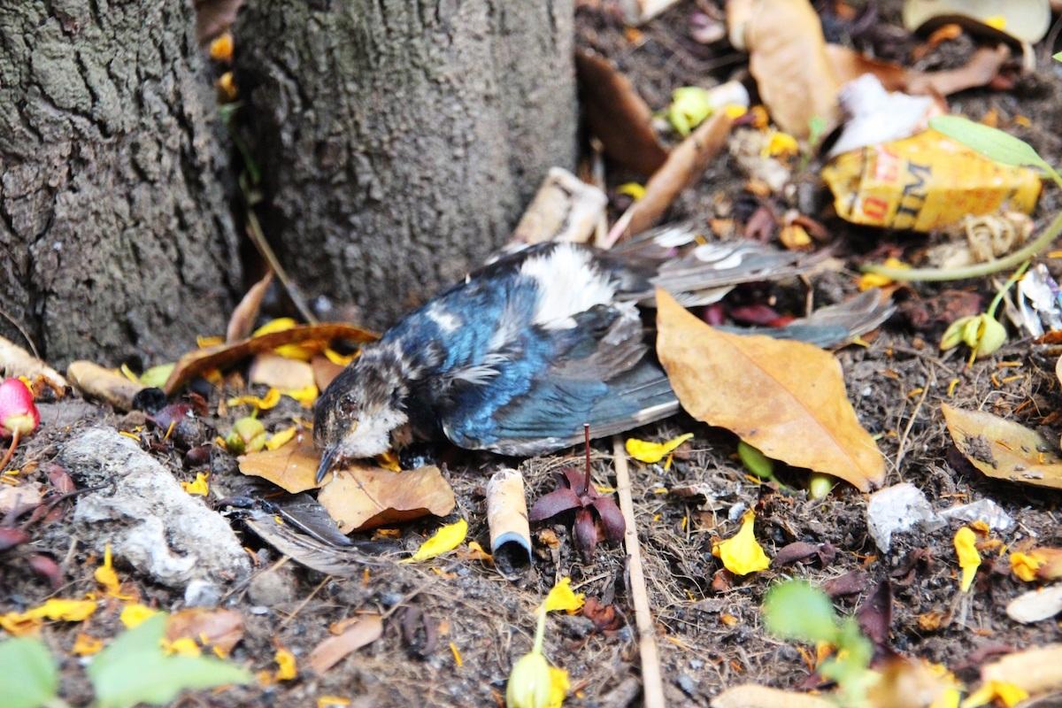 Chim chết la liệt quanh chính điện, gốc cây, bãi gửi xe...