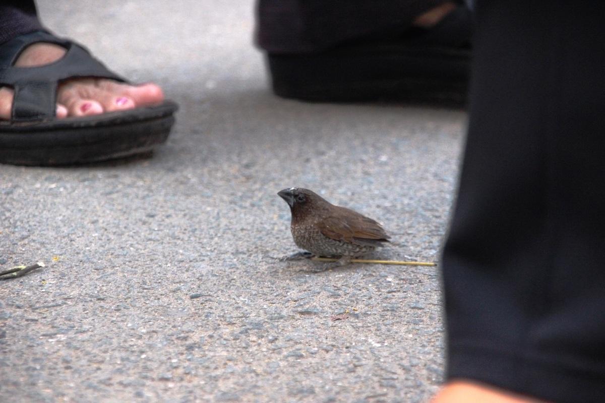 Chim yếu ớt không buồn bay ra, người phóng sinh phải dùng tay kéo chim ra khỏi lồng