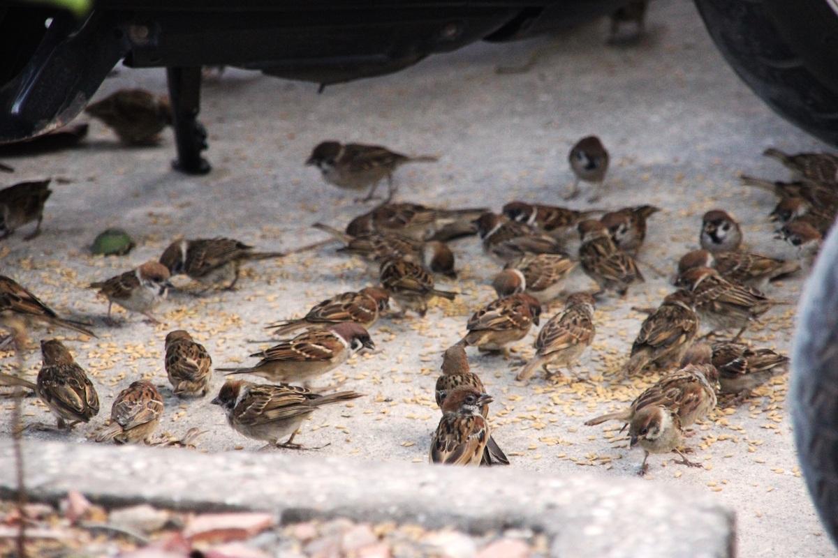 Chim bị dụ lại những nơi đã được người bán chim rải thóc sẵn.