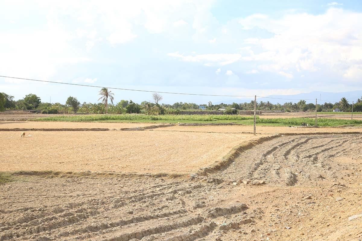 Những cánh đồng còn nước đang chuyển đổi cây trồng để bảo vệ đàn gia súc còn lại