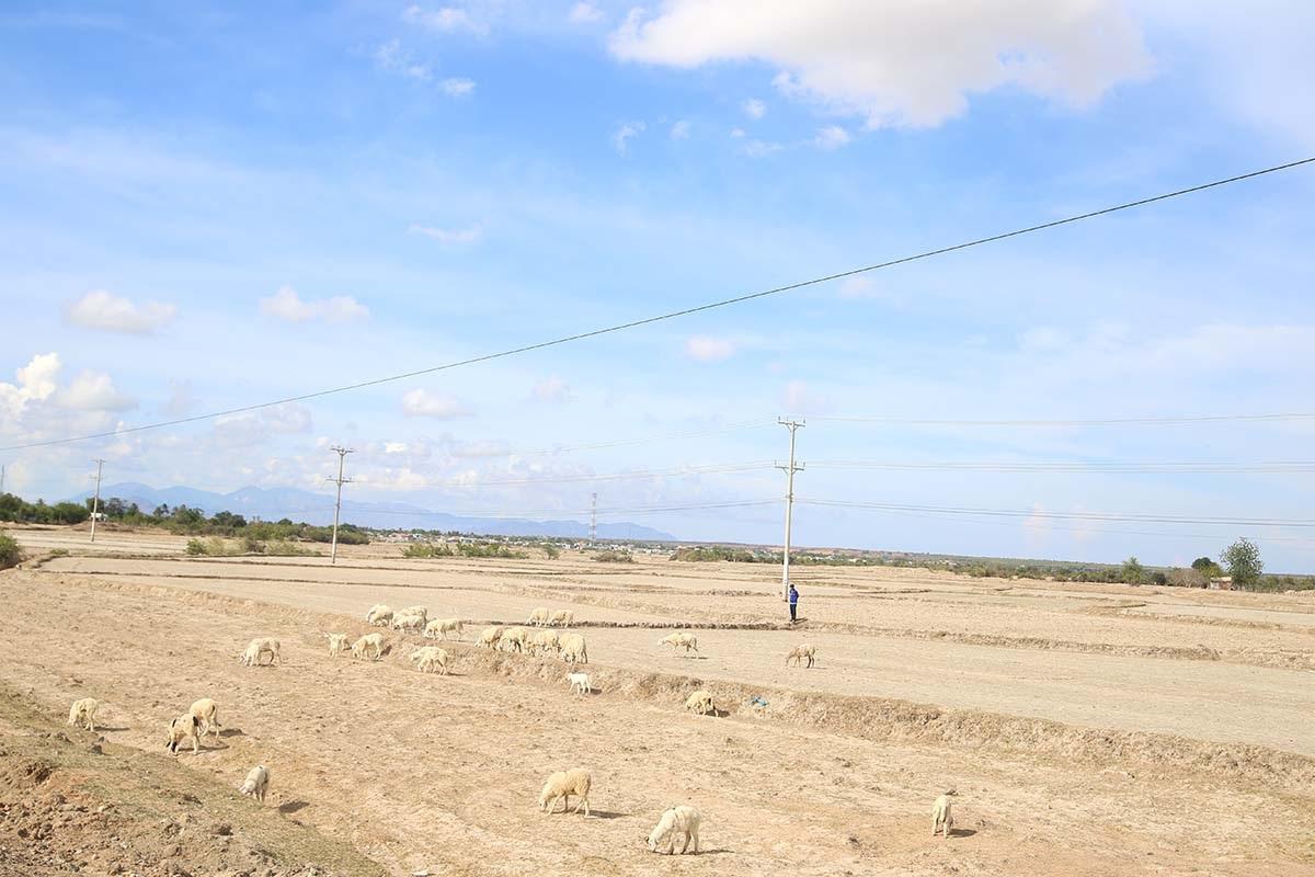 Nhiều cánh đồng đang bỏ hoang tại Ninh Thuận