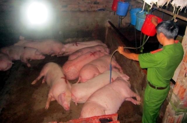Hàng loạt vụ bơm nước, bơm tạp chất vào trâu bò, lợn gà bị phanh phui.