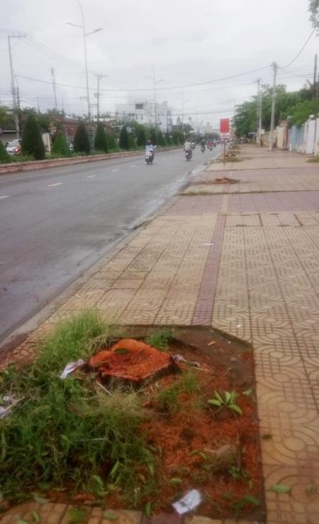 Cả đoạn đường dài trở nên trống trải khi chẳng còn cây xanh nào. Công nhân cho biết họ cưa những cây bị sâu đục thân.