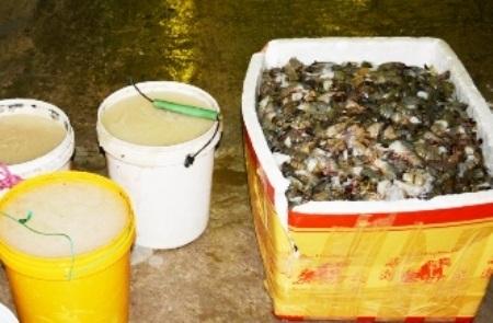 Hành vi bơm tạp chất vào tôm được Sở NN&PTNT tỉnh Bạc Liêu kiến nghị cần bổ sung vào Bộ Luật Hình sự để xử lý nghiêm. (Ảnh minh họa)
