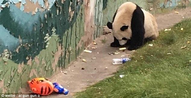 Du khách ghi lại cảnh gấu trúc nhặt rác và ăn