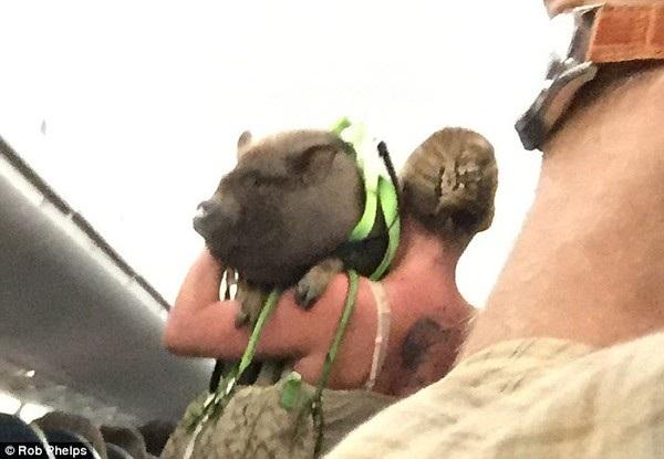 Hành khách mang lợn lên máy bay