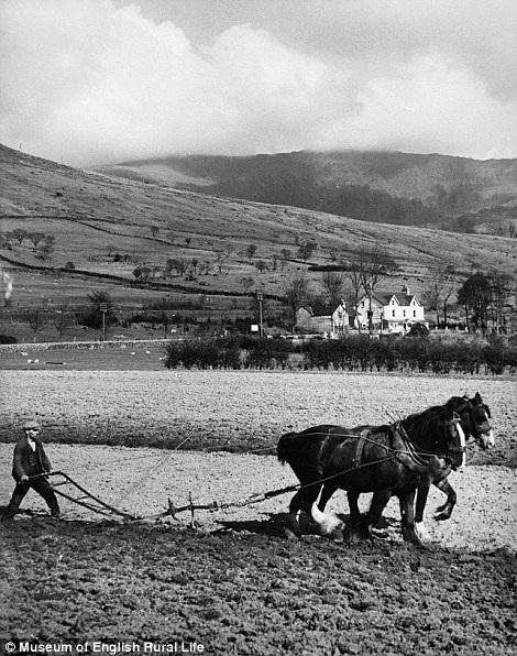 Người nông dân đang đi cày trên thửa ruộng ở Snowdonia.