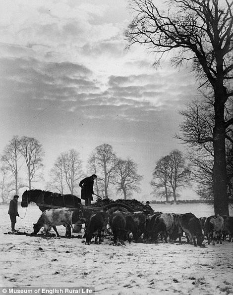 Người nông dân đang lùa đàn gia súc ra bên ngoài gặm cỏ trong ngày trời đông giá lạnh.