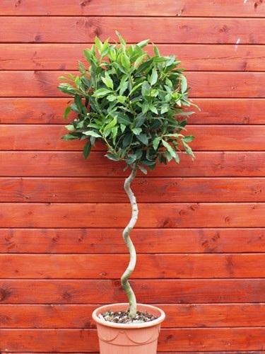 Cây Nguyệt quế từ lâu đã được xem như một biểu tượng của vinh quang, chiến thắng, và uy nghi. Cây có nguồn gốc ở vùng cận nhiệt đới, đó là lý do tại sao nó rất thích không khí ẩm, bóng râm, và nước ấm. Nguyệt quế hấp thụ độ ẩm từ không khí, giúp cân bằng độ ẩm trong nhà. Hơn thế nữa, lá cây có thể sấy khô và được sử dụng trong nấu ăn.