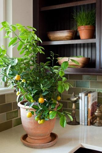 Cây chanh là một loài thực vật tuyệt vời trong tất cả các khía cạnh. Khi ra hoa, nó lấp đầy không khí với một thơm mát dịu, và đồng thời hấp thụ độ ẩm dư thừa trong không khí. Lá chanhcung cấp một số lượng lớn các chất chữa bệnh, khử trùng không gian xung quanh nó. Cây chanh ưa ánh sáng mặt trời, thích được tưới nước thường xuyên, và trồng trên đất khô.