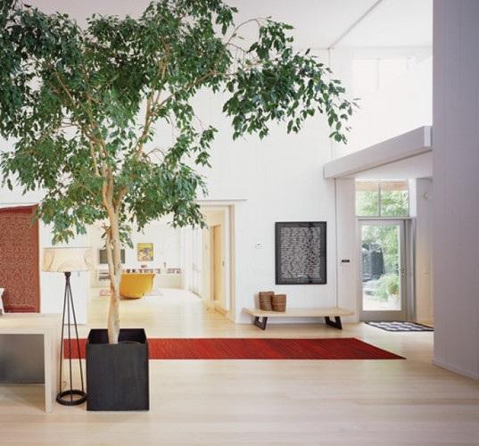 Cây Si là loại cây cảnh được trồng khá phổ biến. Nó cung cấp độ ẩm cho không khí, cung cấp oxy, trung hòa độc tố và virus. Nó phát triển tốt nhất trong ngôi nhà có không gian rộng, và nó cũng đòi hỏi bóng râm.
