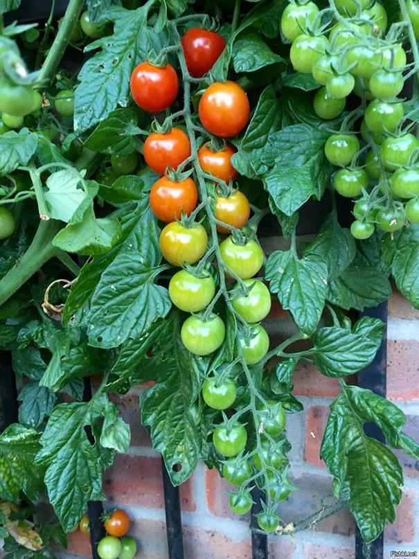 Màu sắc hoàn hảo từ cấp độ xanh đến chín của những trái cà chua.