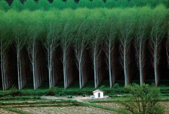Rừng cây trồng hoàn hảo với các luống đều tăm tắp. Thoạt nhìn, người xem có cảm giác như sản phẩm của photoshop.