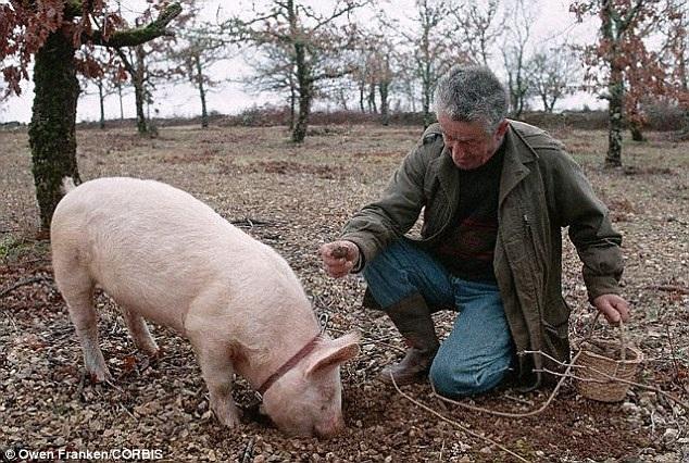 Chú lợn đánh hơi thấy mùi hương của khối nấm ẩn dấu trong đất