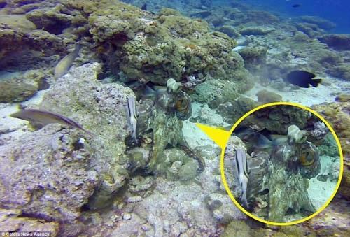 Nếu không chú ý, bạch tuộc dễ dàng biến mất nhờ vào khả năng ngụy trang khéo léo.