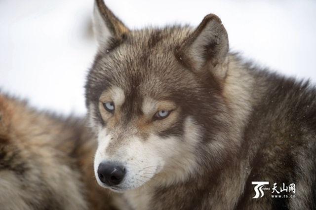 Đàn chó sói lên tới 150 con