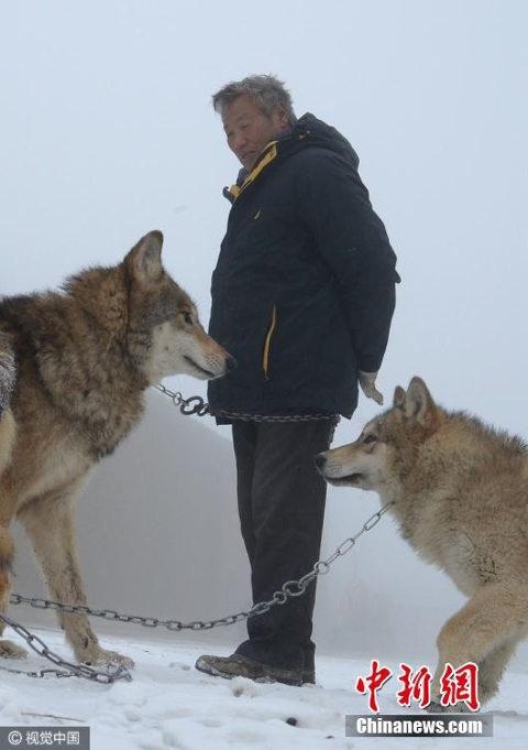 Ông Dương từng bị chó sói tấn công duy nhất một lần trong suốt 9 năm nuôi dưỡng chúng