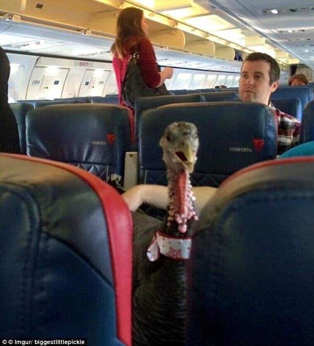 Gà tây từng là vị khách lạ trên chuyến bay