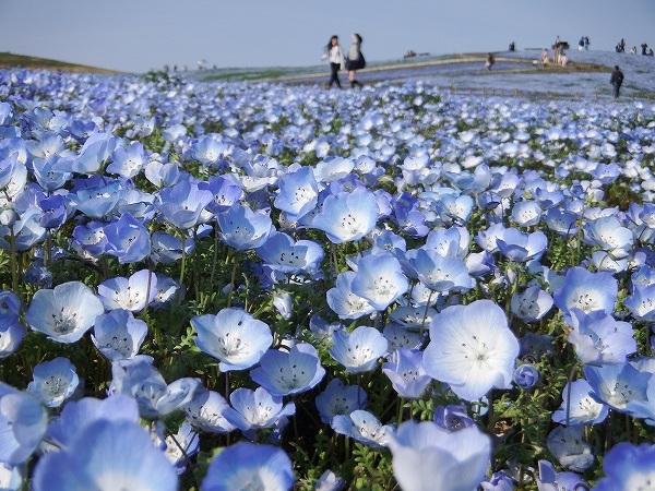 Cảnh đẹp như trong mơ thế này thật làm động lòng người. Mùa ngắm hoa Nemophila: Giữa tháng 4 - Đầu tháng 5