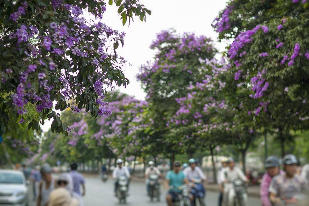 Phố Kim Mã trong sắc tím hoa bằng lăng