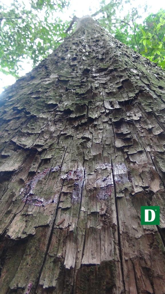 Thân cây xù xì, biểu hiện của thời gian trường thọ.