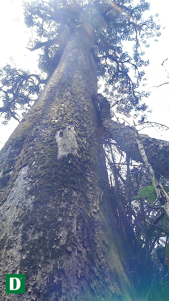 Nhiều cây cao từ 50-70 m...