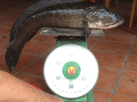 Con cá lóc cân nặng 6,1 kg. Ảnh: Trần Ngọc