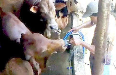 Bò bị bơm nước tại lò giết mổ gia súc Tuấn Cúc (Tiền Giang). Ảnh: Thú y TP.HCM