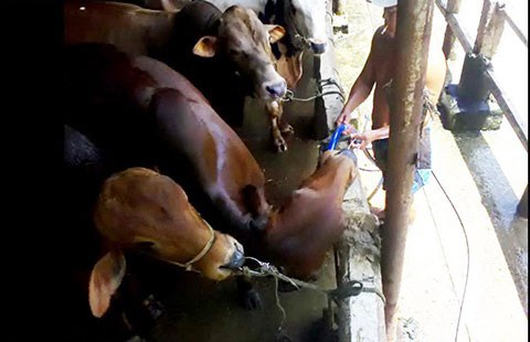 Người đàn ông bắt đầu thọc ống bơm nước sâu vào bụng bò để bơm.