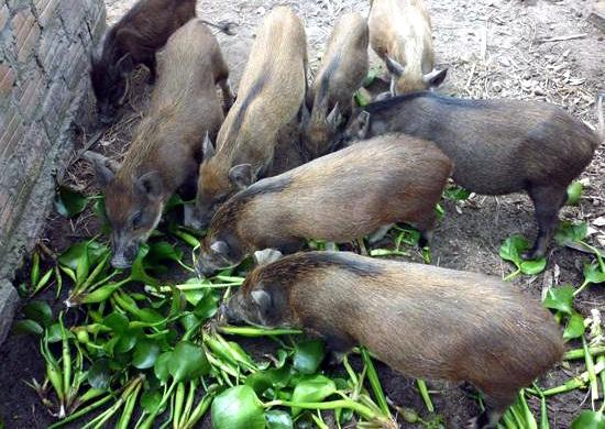 Nhà giàu Hà thành đặt mua và tự nuôi lợn rừng cho đúng chuẩn sạch