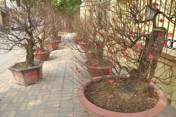 Do thời tiết nắng ấm nên các cây đào nở hoa rất nhanh.