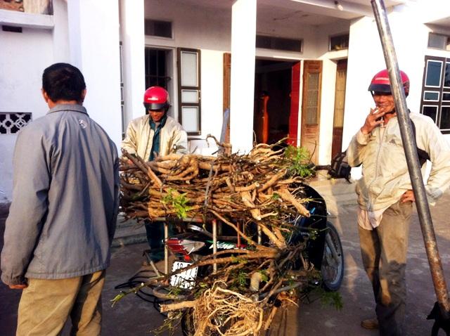 Người ta thu mua từ cây, lá đến cành, rễ của đinh lăng