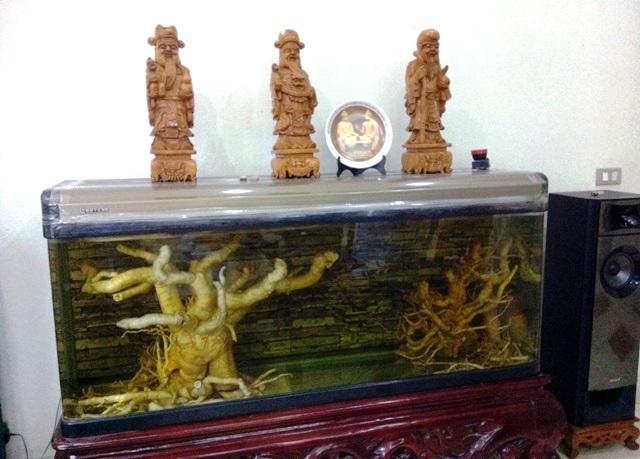 Cây đinh lăng khủng được ngâm trong bể cá cảnh