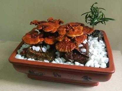 Nấm linh chi bonsai đang là thú chơi mới của những người yêu cây cảnh
